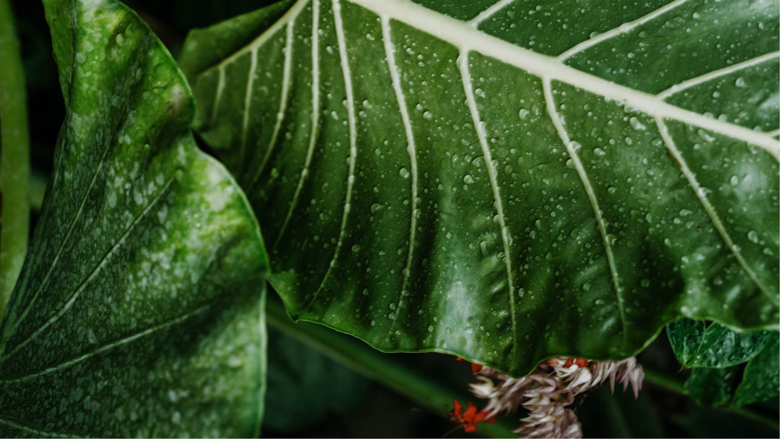 large green leaves with dew